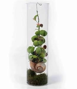 Tropische Pflanzen Kaufen : dischidia pectenoides kangaroo pocket ant plant schneckenhaus pflanze garten ~ Watch28wear.com Haus und Dekorationen