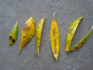 Oleander Hat Gelbe Blätter : palmen und co olive pilz ~ Lizthompson.info Haus und Dekorationen