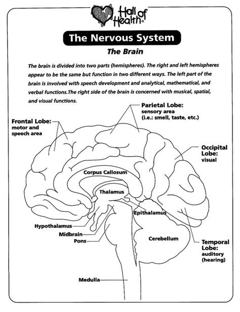nervous system coloring worksheet nervous system coloring pages az coloring pages