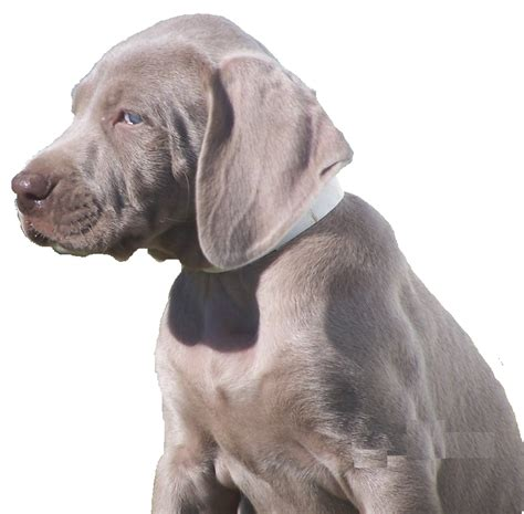 do weimaraner dogs shed a lot brown weimaraner puppy breeds picture