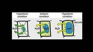 Tonicity  Hypertonic  Isotonic  U0026 Hypotonic Solutions