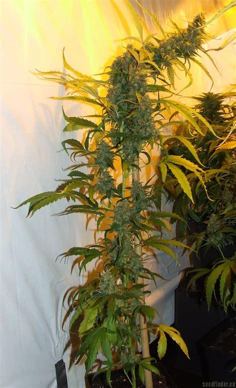 double gum white label cannabis strain info
