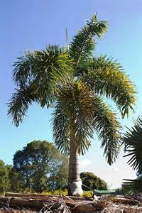 Common Christmas Tree Types cold and frost choosing the right palm palms online