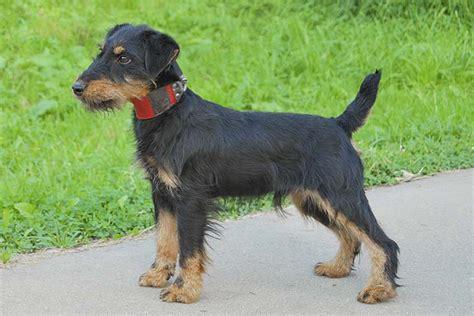 German Jagdterrier Hunting Terrier