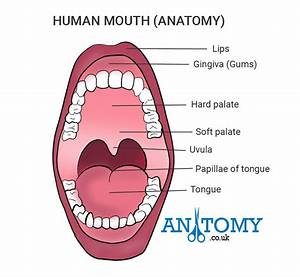 Human Mouth Structure And Anatomy With Pictures  Functions