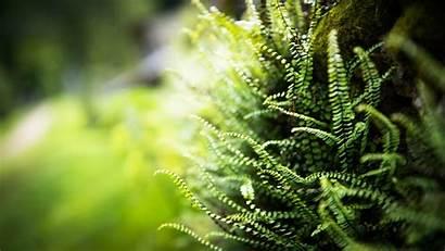 Fern Macro Wallpapers Plants Nature Desktop Ferns