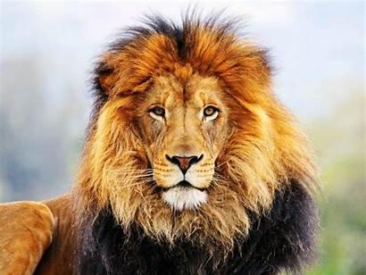 Lion Roaring Male Wallpapers