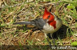 Hawaiian Fauna the Hawaii Animals