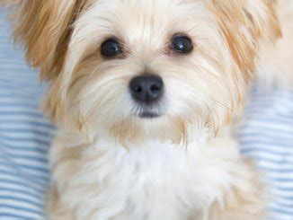 maltese shih tzu mix breed information   dogs