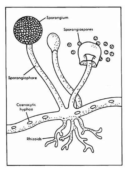 Jamur Klasifikasi Ciri Zygomycota Ingin Tahu