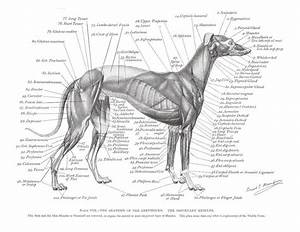 262 Best Images About Adopt A Greyhound On Pinterest