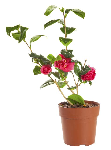 plantation camelia en pot care for camellia in pots tips for growing camellias in containers