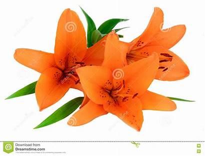 Orange Lily Flower Background Isolated Flowers