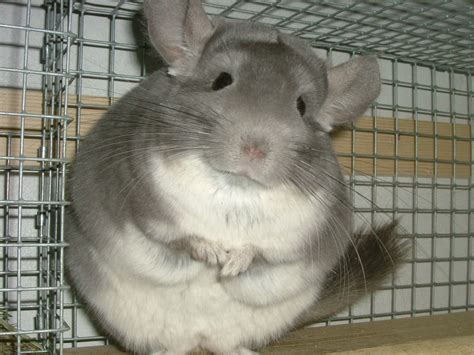 Gabbie Per Cincilla - chucking the chins of chinchillas causes cheer both to the