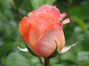 Bouton De Rose : 0397 bouton de rose orange jardin d 39 albertas 26 mai ~ Dode.kayakingforconservation.com Idées de Décoration
