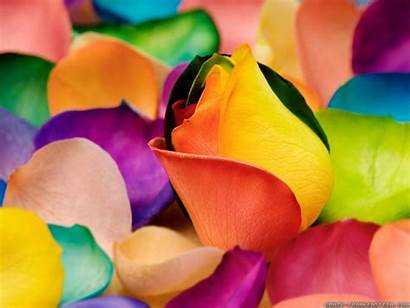Colorful Flowers Wallpapers Flower Sweet Colourful Rainbow