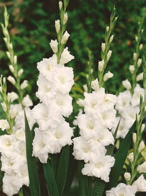 pics of gladiolus 17 best images about gladioli on pinterest the church on sunday and flower