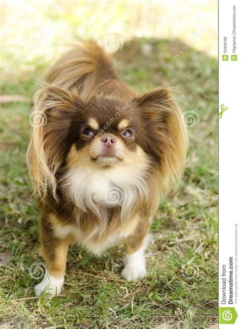 chihuahua stock image image  coated head breed