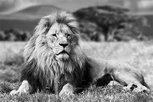 Tableau Lion Noir Et Blanc : noir et blanc tableaux sur verre acheter en ligne sur page 2 ~ Dallasstarsshop.com Idées de Décoration