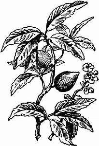 Almond Tree | ClipArt ETC