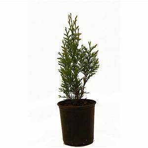 Thuja Green Giant-THUGRE01G - The Home Depot