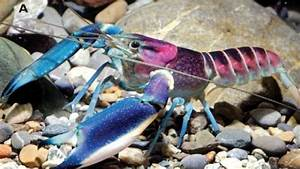 Meet the New Blue and Purple Crayfish from Indonesia ...