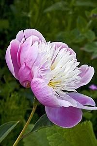 Langage Des Fleurs Pivoine : e o n i e s fleurs pivoines et renoncules ~ Melissatoandfro.com Idées de Décoration