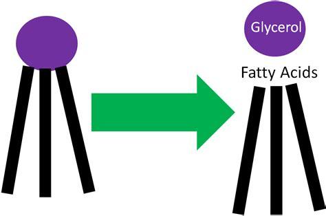 lipolysis triglyceride breakdown figure nutrition flexbook