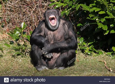 chimp laughing stock chimp laughing stock alamy