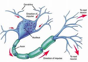 Neuron Diagram - Neuron Chart - Picture Of Neuron