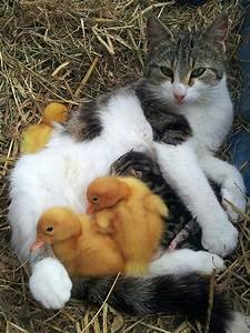 Cat Adopts Ducklings into Her Litter of Kittens | Life ...