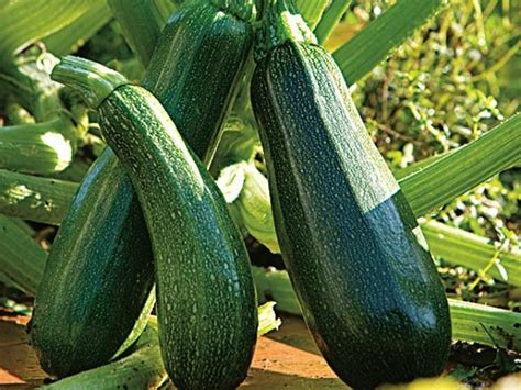 plante de cuisine planter la courgette en pot ou jardinière