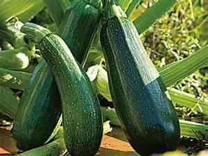 Quand Planter Courgette : quand planter les courgettes en 2017 ~ Dallasstarsshop.com Idées de Décoration