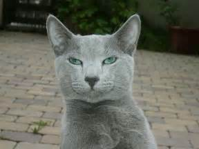 cat russian blue blue russian cat pictures cat pictures