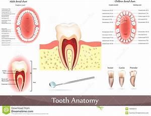 Tooth Anatomy Stock Vector  Illustration Of Diagram  Ache