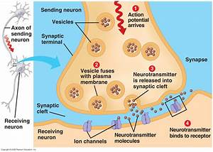 Nerves  U00ab Kaiserscience