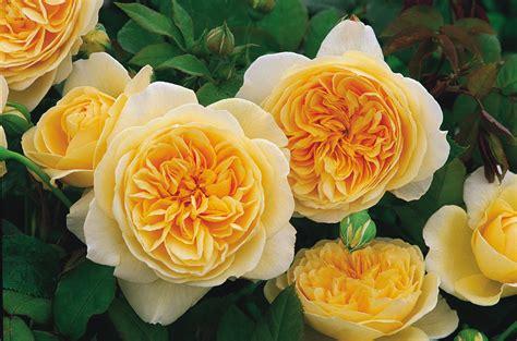 austen roses planting more david austin roses the martha stewart blog