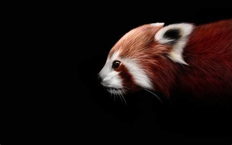 baby red panda wallpaper wallpapersafari
