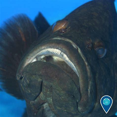 earthisblue noaa sanctuaries marine national grouper hey jan looking help re