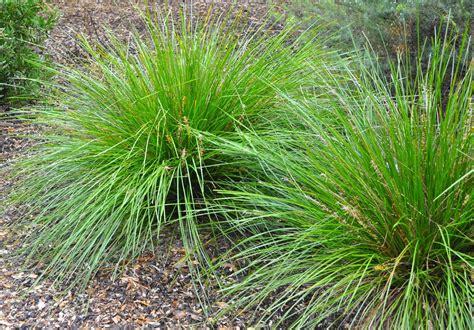 Dekoelemente Garten by Ornamental Grass Propagation Learn About The Propagation
