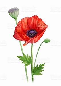 Red Poppy Flower On A Stalk Watercolor Painting Stock ...