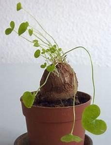 Anthurie Im Wasser : elefantenfu beaucarnea recurvata pflanzen pinterest pflanzen ~ Yasmunasinghe.com Haus und Dekorationen