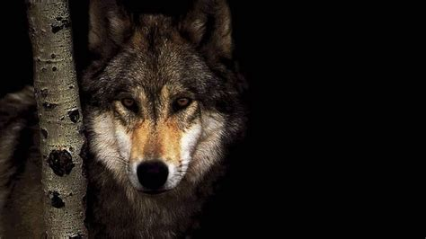 wolf backgrounds   pixelstalknet