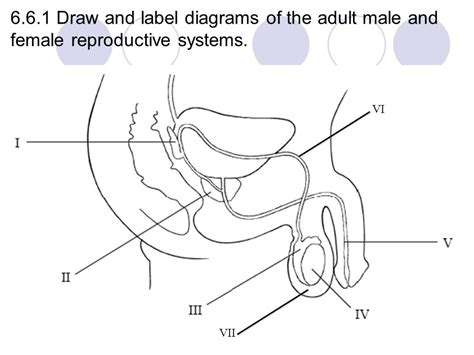 blank diagram  male  female reproductive systems
