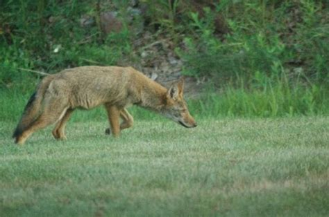 rabid coyote killed  biting hunter  chester