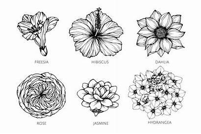 Flower Drawing Flor Dessin Fleur Desenho Freesia