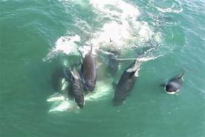 Amazing footage of Orcas hunting minke whale - Caters News ...
