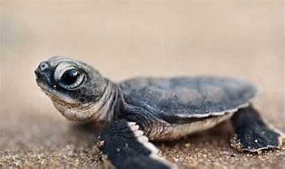 Turtle Wallpapers Sea Animals Baltana Fragile Brief