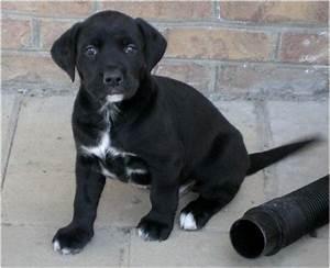 How rare is a black and white labrador? - Quora