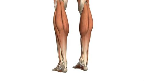 If you know where muscles attach and how they contract then you can know how to. Muscle Of Leg Anatomy - Anatomy Drawing Diagram